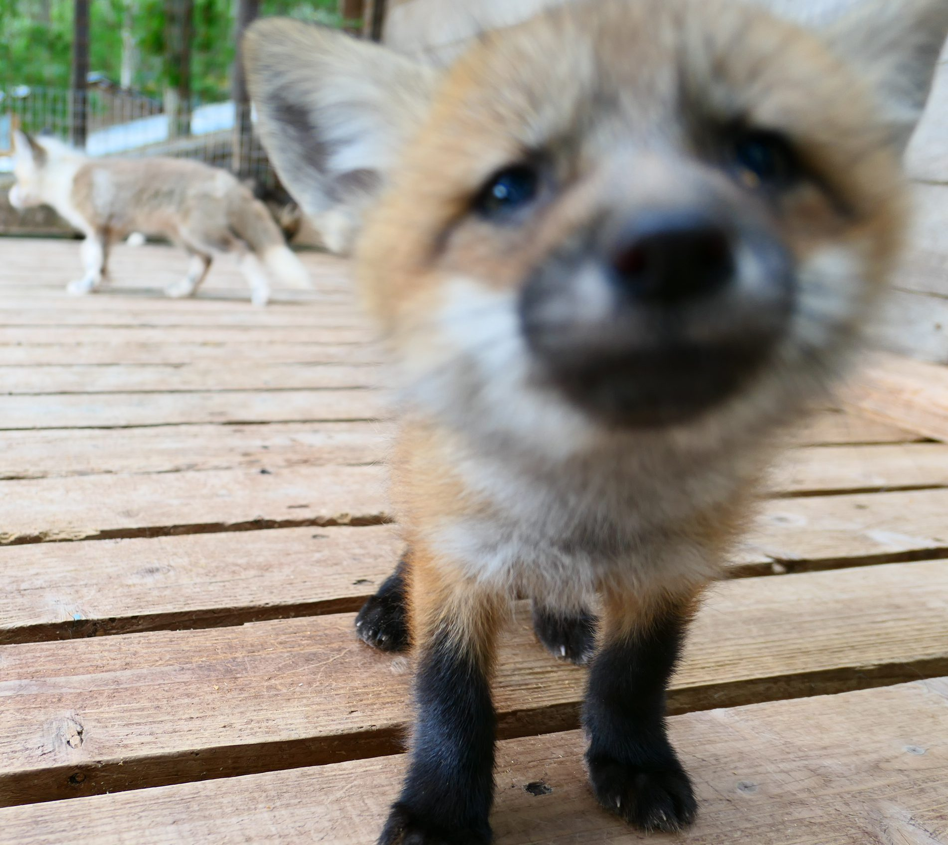 もふもふ!狐だらけの宮城蔵王キツネ村の楽しみ方を語る。